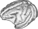 Macaque brain